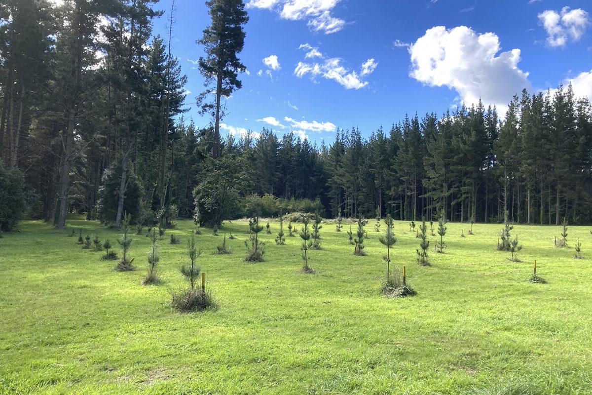 植林された苗木
