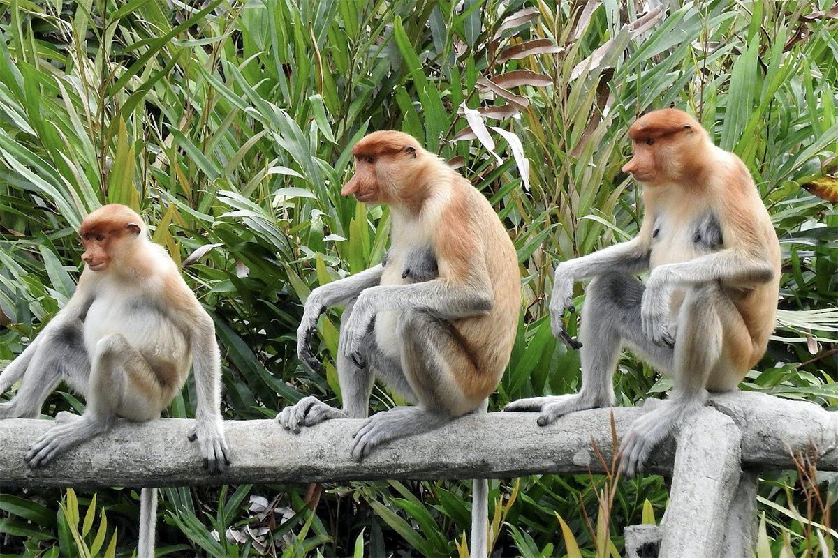 絶滅危惧種に指定されているボルネオ島のテングザル。